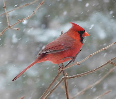 Photo of Northern Cardinal in the snow