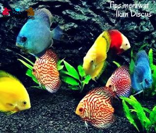 Tips Merawat Ikan Discus