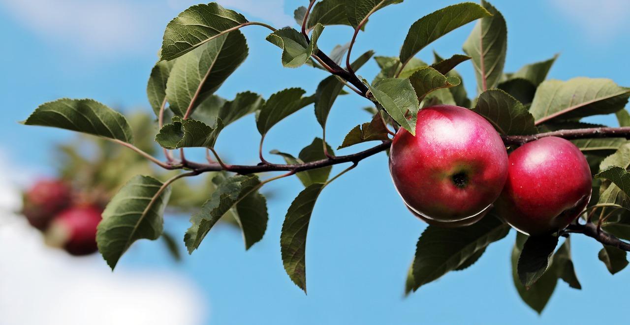 image apple fruit