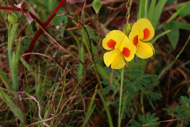Berki Smithia bigemina kaas plateau western ghats valley of flowers