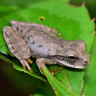 puriscal frog