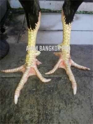 Jual Ayam Bangkok Usia 10 Bulan Tipe Tarung Ngalung-Nyayap-Ngolong