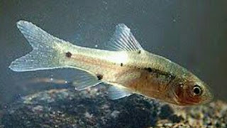 umpan mancing ikan wader