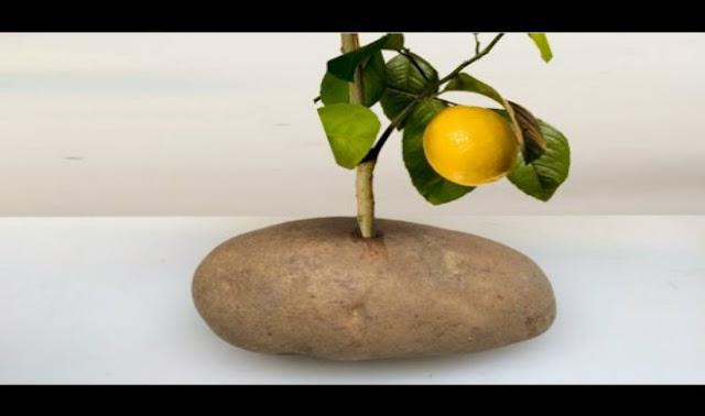 Κλαδί Λεμονιάς Στην Πατάτα