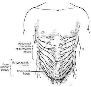 cutaneous nerves over the abdomen