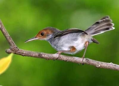 Download Suara Burung Prenjak Gacor Panjang