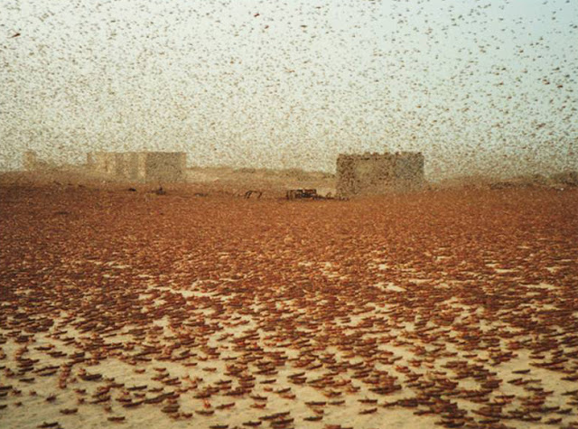 TBW: The story of how a small plague of locusts grew into ...