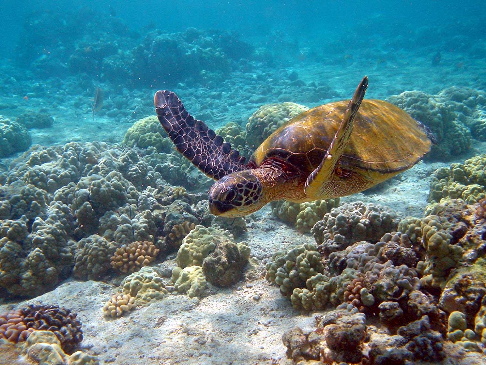 Reptiles: Hawaii turtle