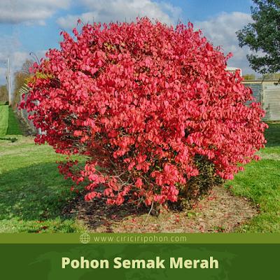 Ciri Ciri Pohon Semak Merah