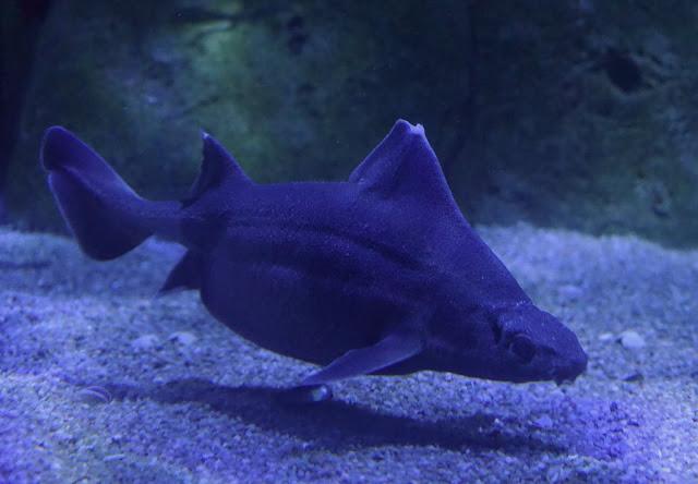 Tiburón cerdo en el Oceanogràfic