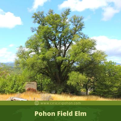 Ciri Ciri Pohon Field Elm