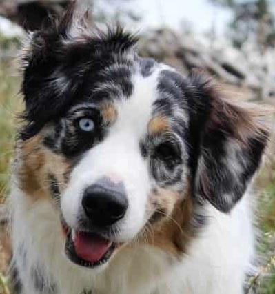 Border-Aussie (Australian Shepherd Border Collie mix) Temperament, Size, Lifespan, Adoption