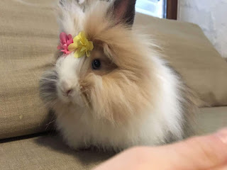 teddy dwarf rabbit