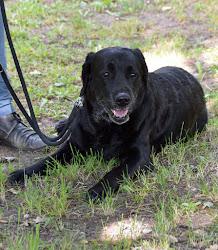 Covid-19-Spürhund; Foto TiHo Hannover