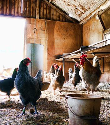 Sudden chicken death, how to examine chicken and coop