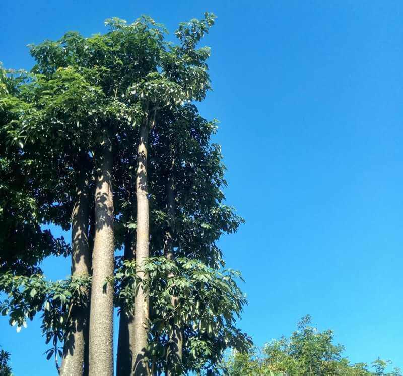 Pokok Pulai berhantu