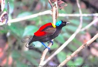 Ekowisata pengamatan burung di Raja Ampat