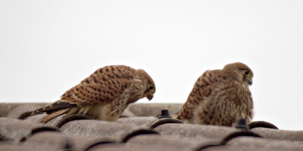 Kleine Fotoserie: Ein Jungfalke lernt das selbstständige Fressen (5)