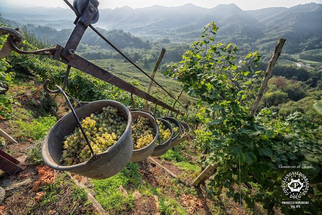 Harvest in Conegliano Valdobbiadene