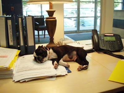 Perrito durmiendo en oficina