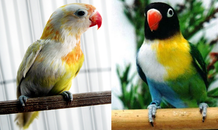 Iniah Makanan Kusus Buat Burung Lovebird Bastago Com