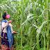 Mujeres originarias, fieles a sus raíces, preservan maíces criollos en Michoacán
