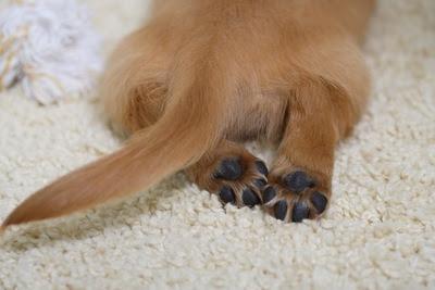 traseira caída em cães