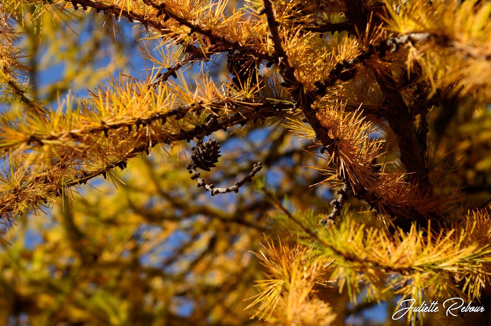 Mélèze en automne, Savoie