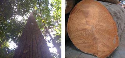 Pohon Bengkirai