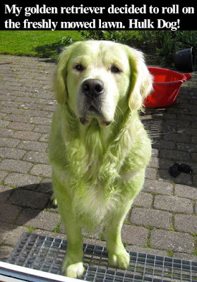 inspiring quotes: my golden retriever decided to roll on the freshly mowed lawn.