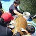 ウミガメの甲羅磨き