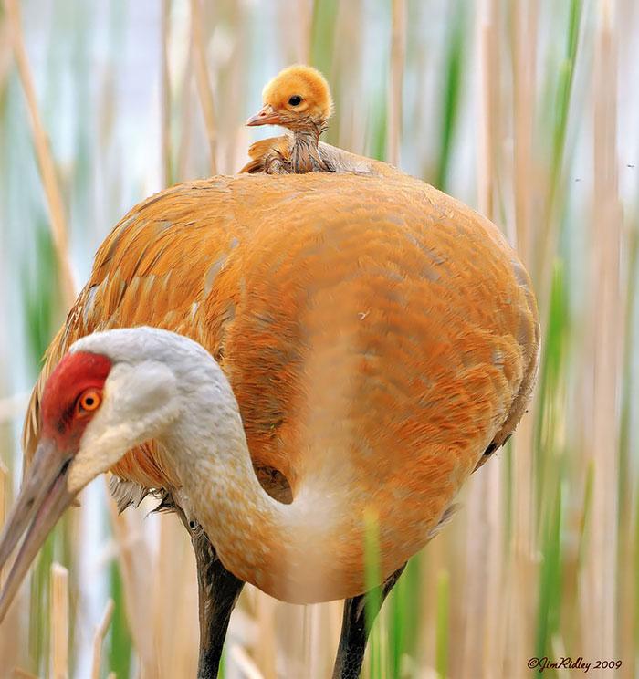 أكثر 30 صورة رائعة للطيور cute-bird-parents-25