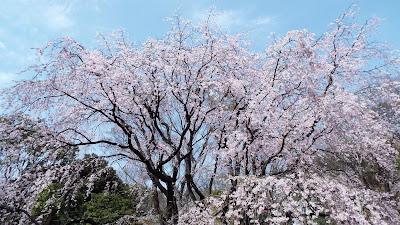 六義園(りくぎえん)のしだれ桜