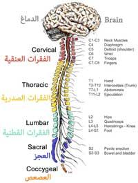 ماهي الأعصاب الشوكية أو الأعصاب النخاعية أو الأعصاب الفقارية
