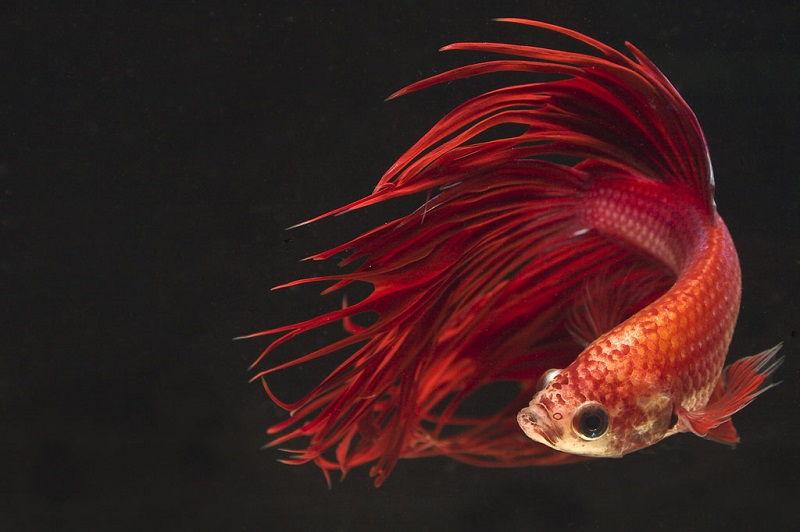 Image Red Betta Fish Names 2