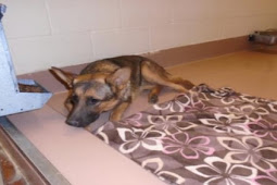 Terrified shepherd puppy surrendered to kill shelter with her favorite blanket, left with no more tears to cry