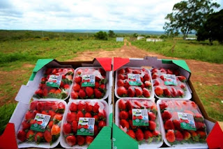 Rural Produtivo da TVE vai falar sobre Frutas Vermelhas da Chapada Diamantina