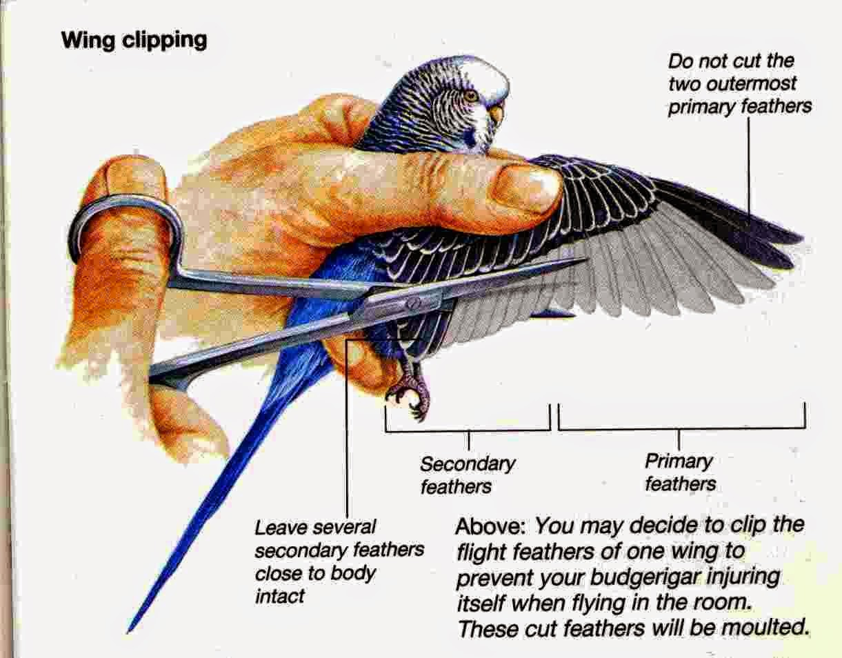 clipping duck wings diagram train horn wiring melatih burung parkit supaya jinak ocehan
