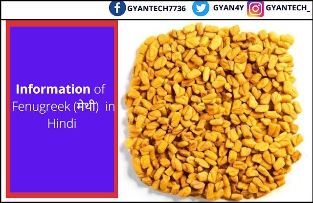 10 फायदे Methi खाने के , नुकसान और उपयोग जानिए। Information of  Fenugreek (मेथी)  in Hindi