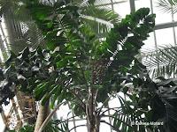 Palm tree fruit - Kyoto Botanical Gardens Conservatory, Japan