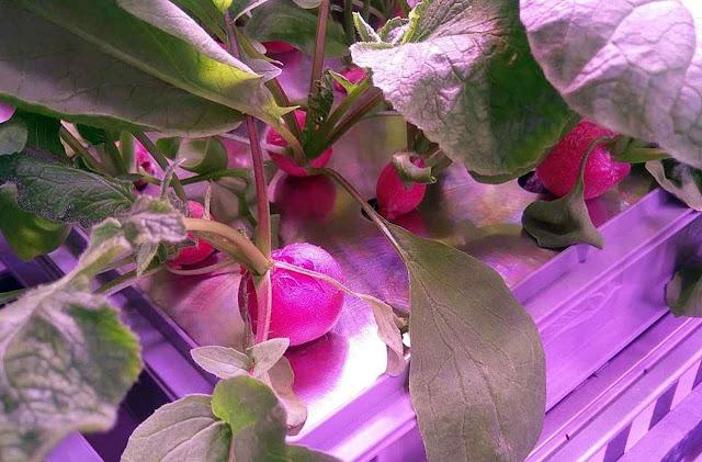 Rabanetes cultivados no módulo da Neumayer Station III com intensificação do CO2 no ar