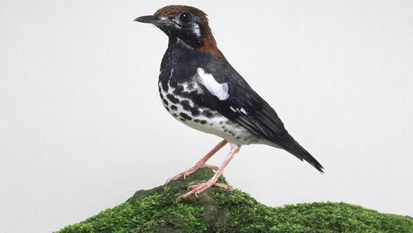 Mp3 Suara Burung Anis Kembang Gacor