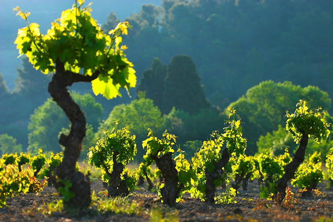 Les grands vins blancs du Languedoc-Roussillon