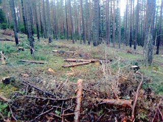 Хворост в лесу