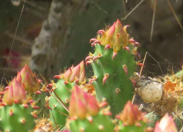 Figueira da Índia - Opuntia ficus-indica
