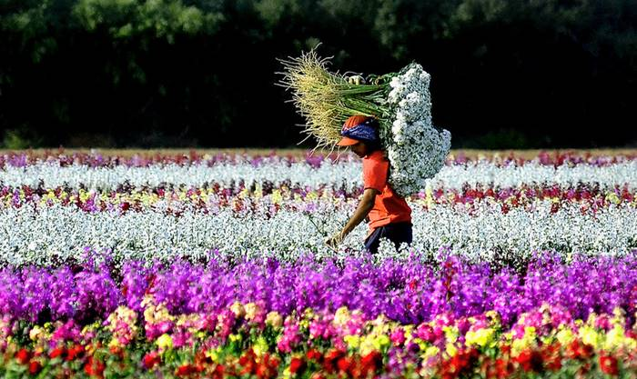 Millions of Flowers in California