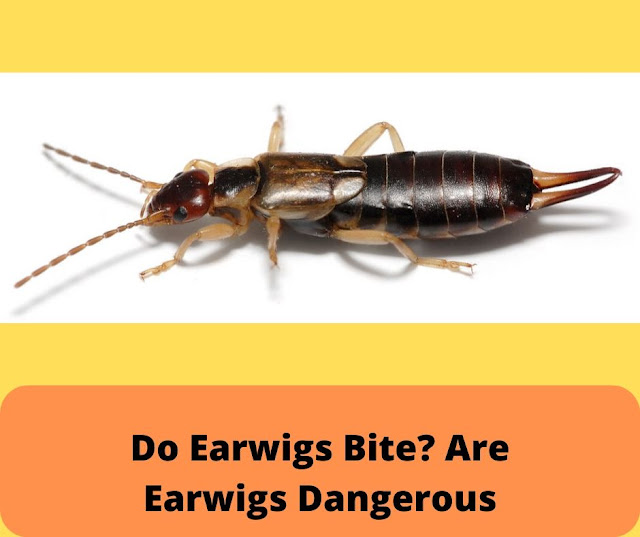 Do Earwigs Bite? Are Earwigs Dangerous
