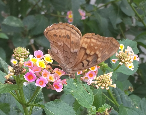 Tawny Emperor Butterfly Photo by @TexiforniaGirl