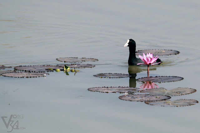 Eurasian coot or the Common coot bird, floating by the lotus
