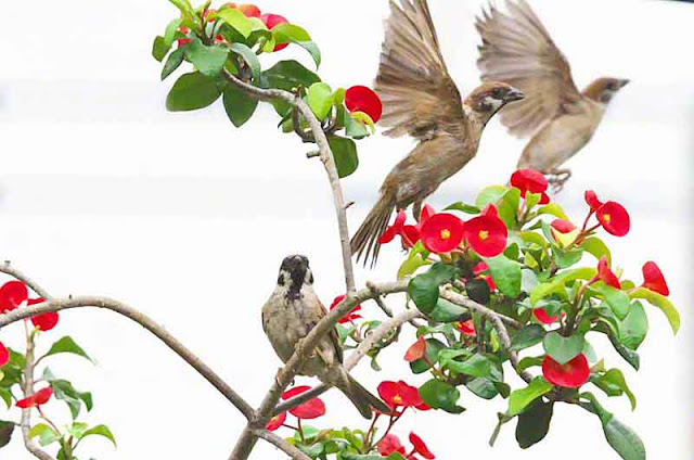 birds, humor, sparrows, flowers, Okinawa, Wordless-Wednesday